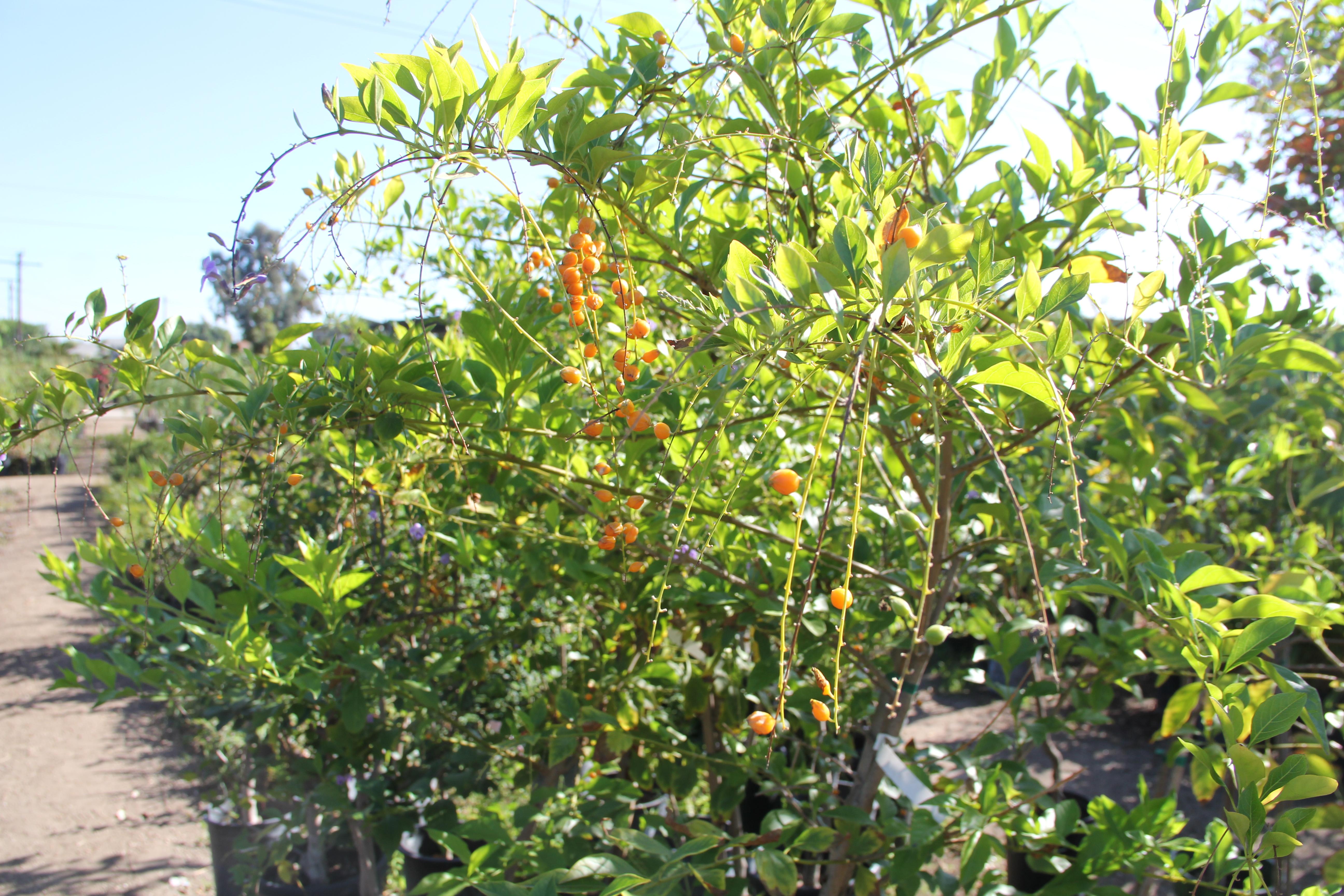 A Ripe Quat Tree At Mimosa Nursery In East L On Dec 1 Photo By Drennon Kimpton