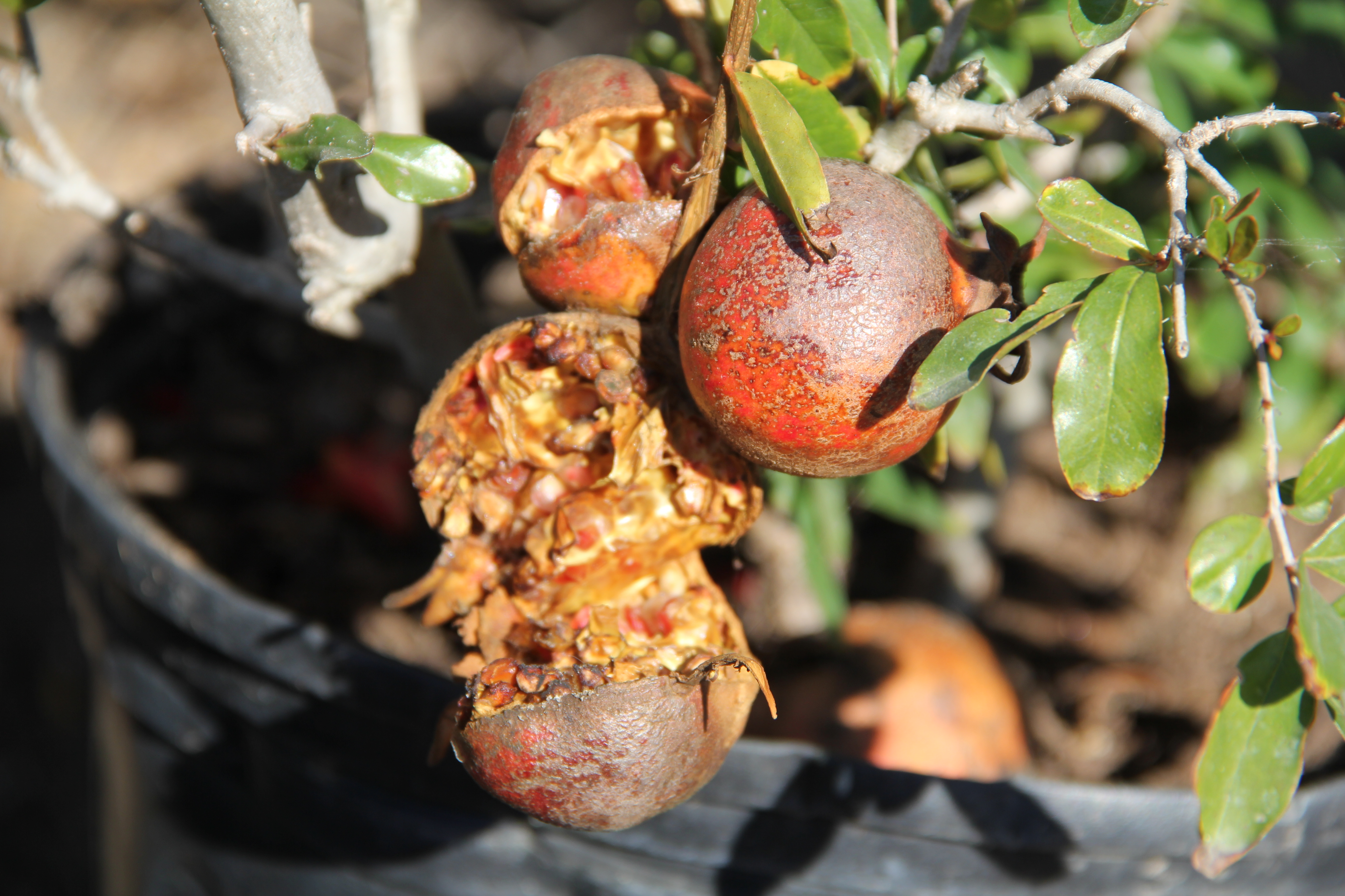 A Rotten Pomegranate At Mimosa Nursery In East L On Dec 1 Photo By Drennon Kimpton